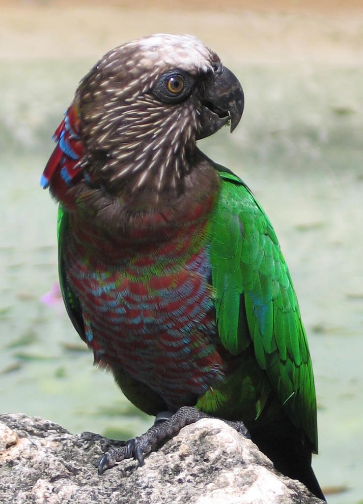 Веерный попугай фото