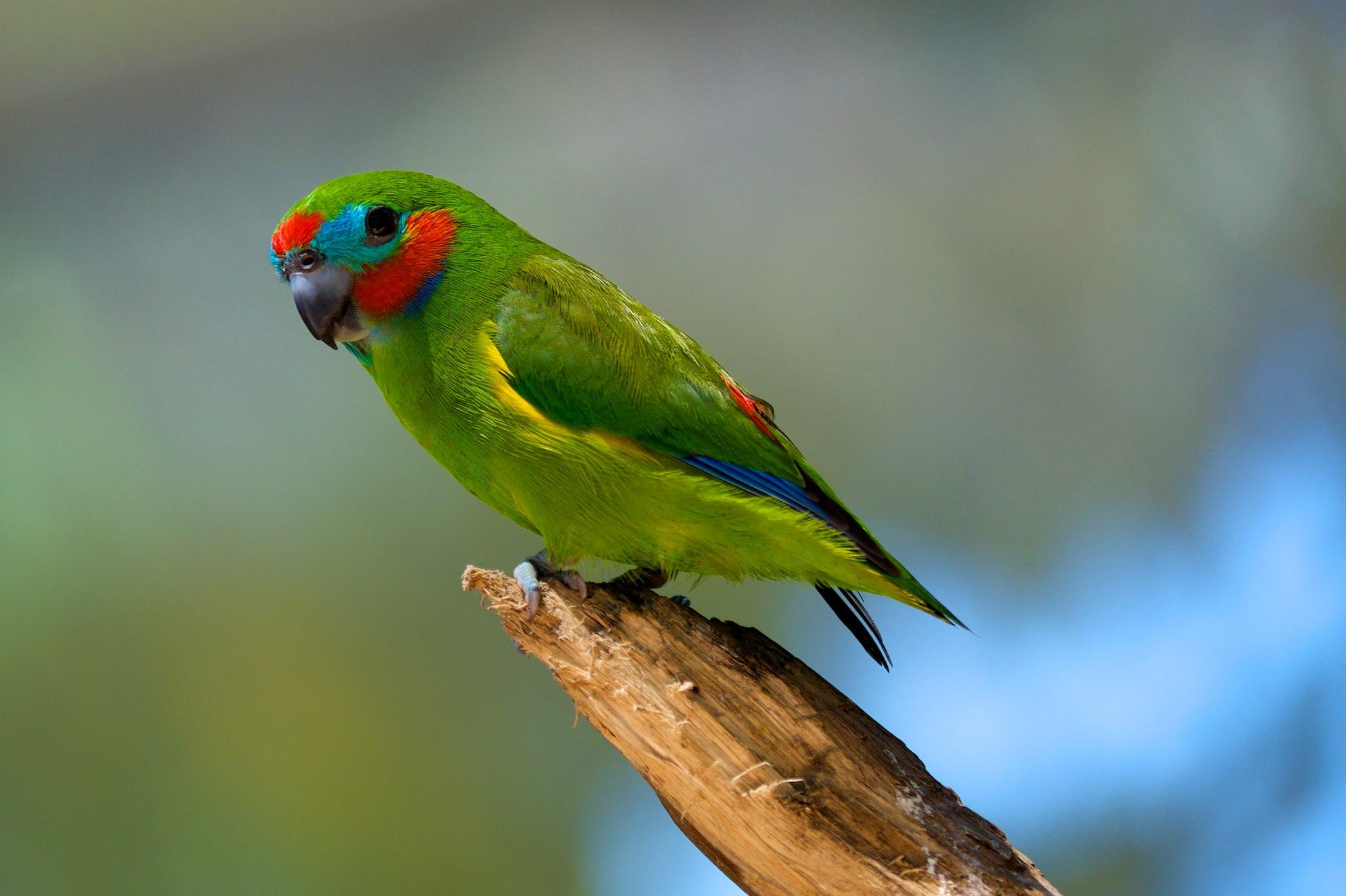 Златобокий фиговый попугайчик фото