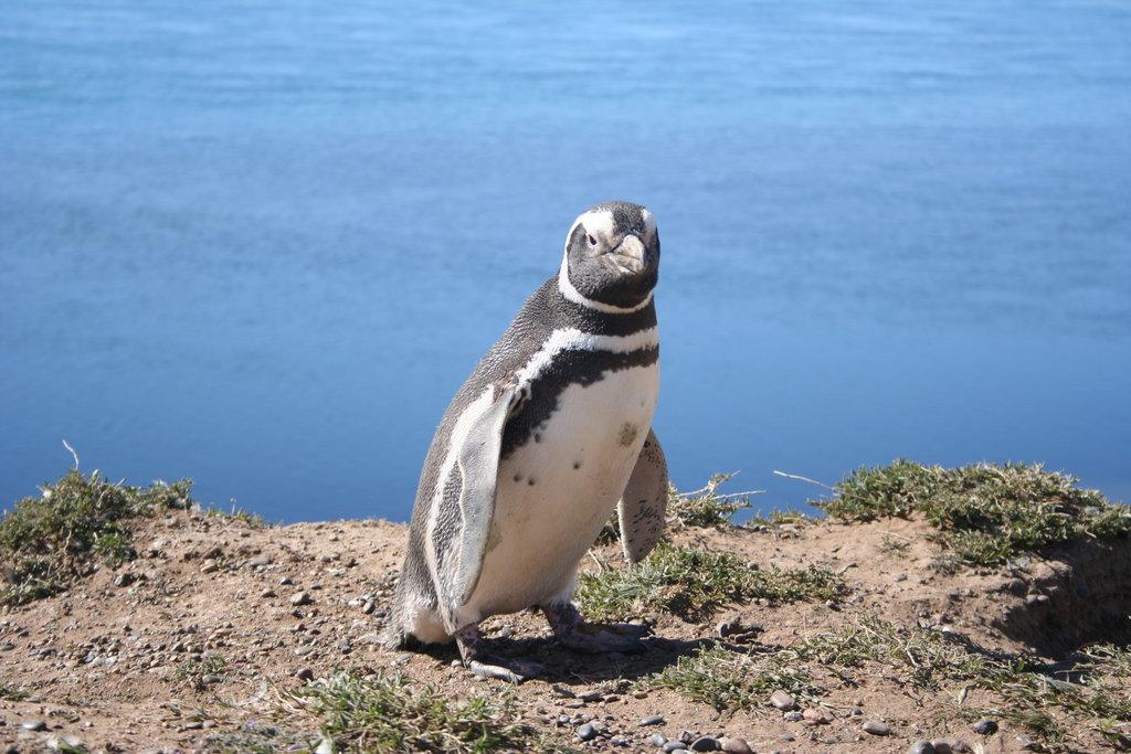 Магелланов пингвин фото