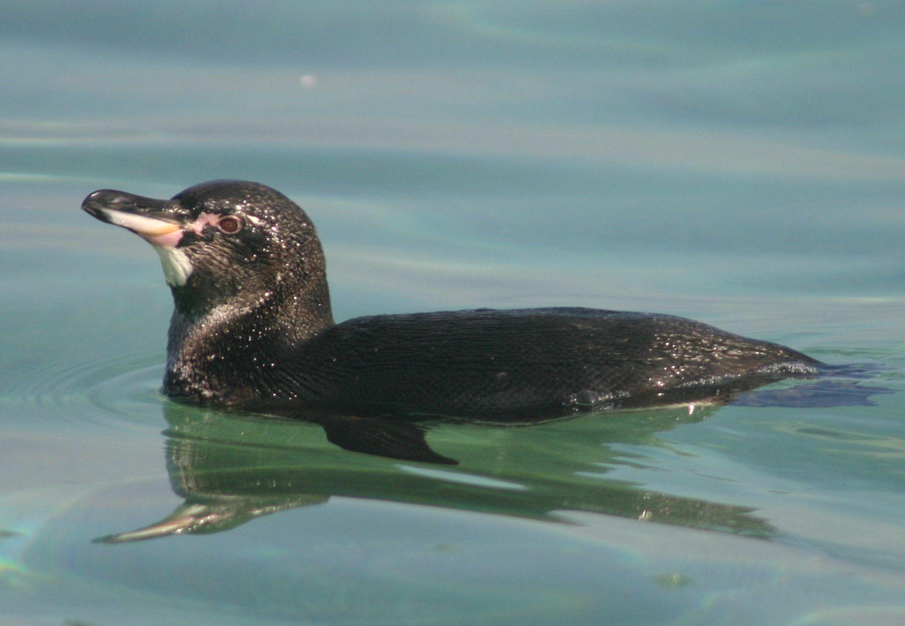 Галапагосский пингвин фото