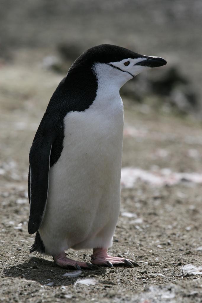 Антарктический пингвин фото