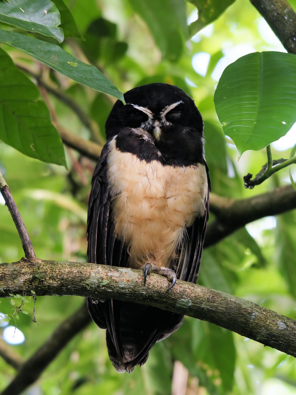 Очковая неотропическая сова фото