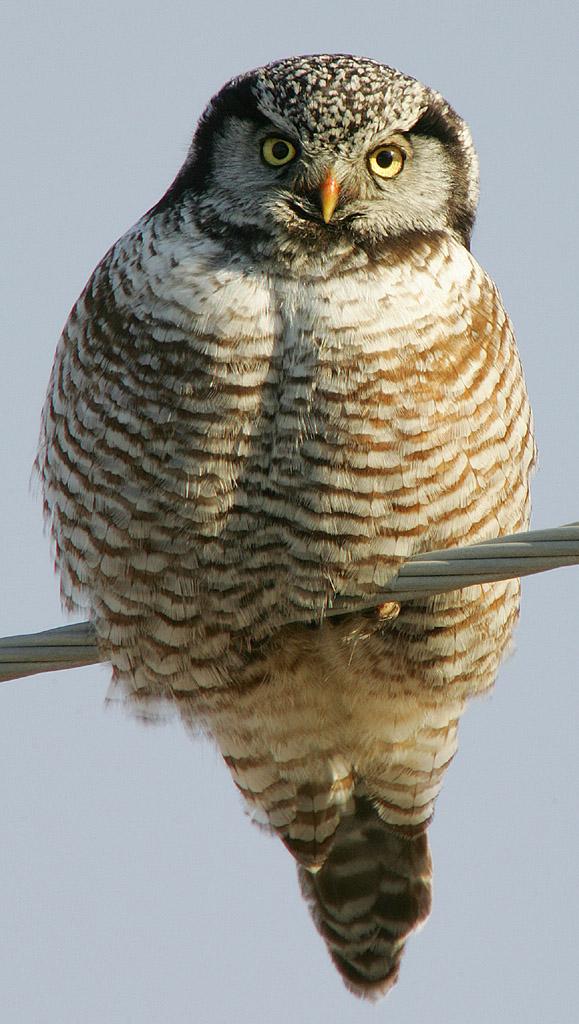 Ястребиная сова фото