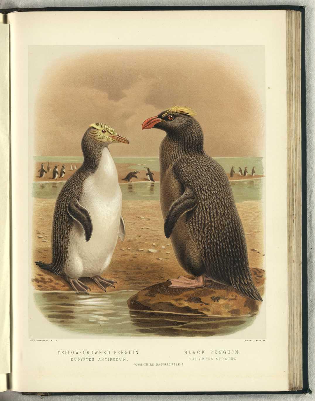 Большой хохлатый пингвин фото