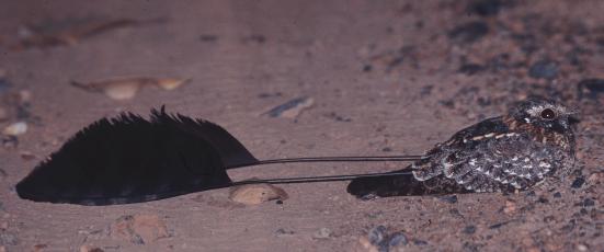 Африканский вымпеловый козодой фото