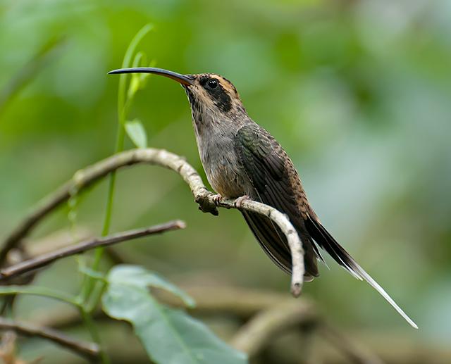 Чешуегорлый солнечный колибри фото
