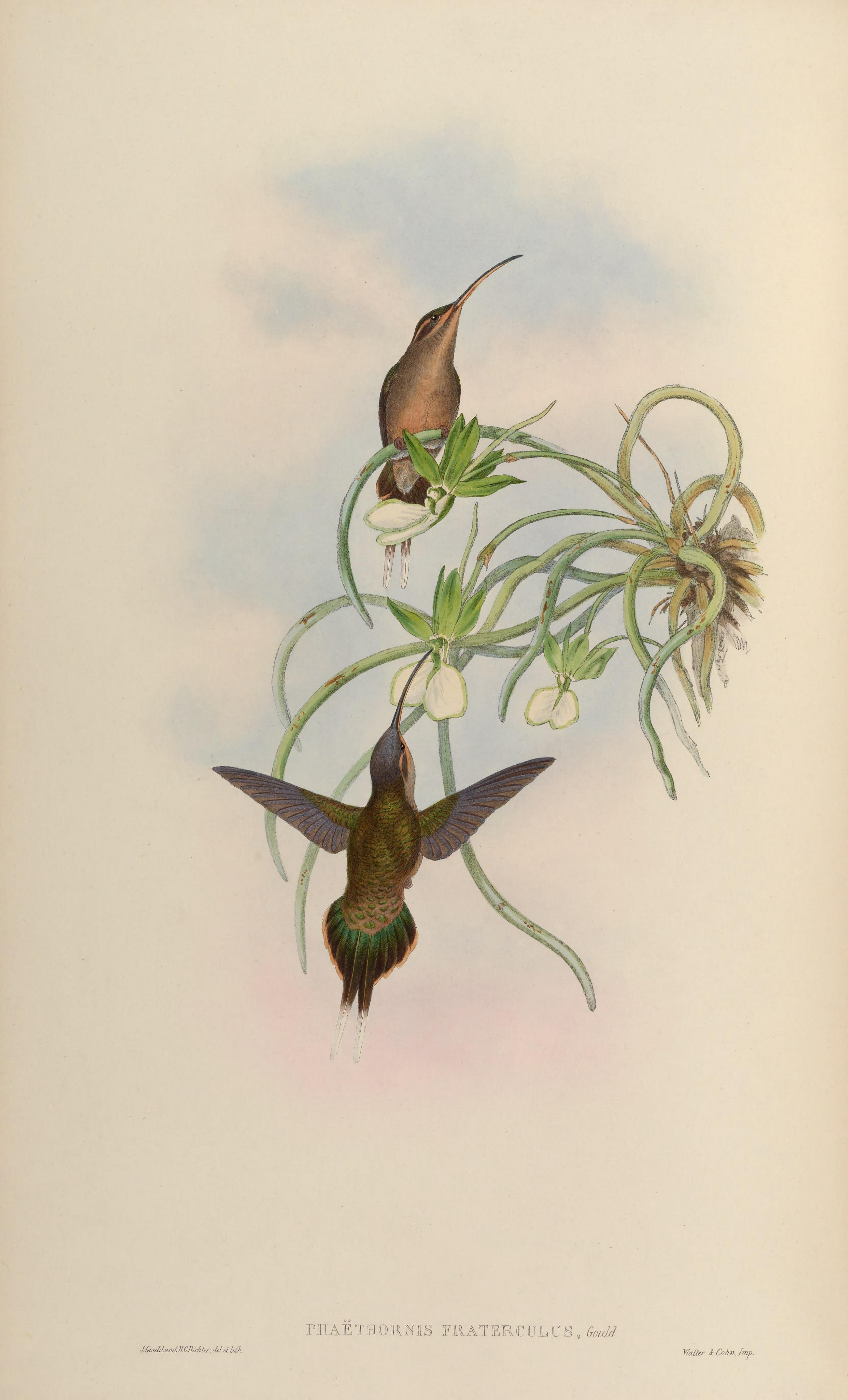 Солнечный колибри (длиннохвостый колибри-отшельник) фото