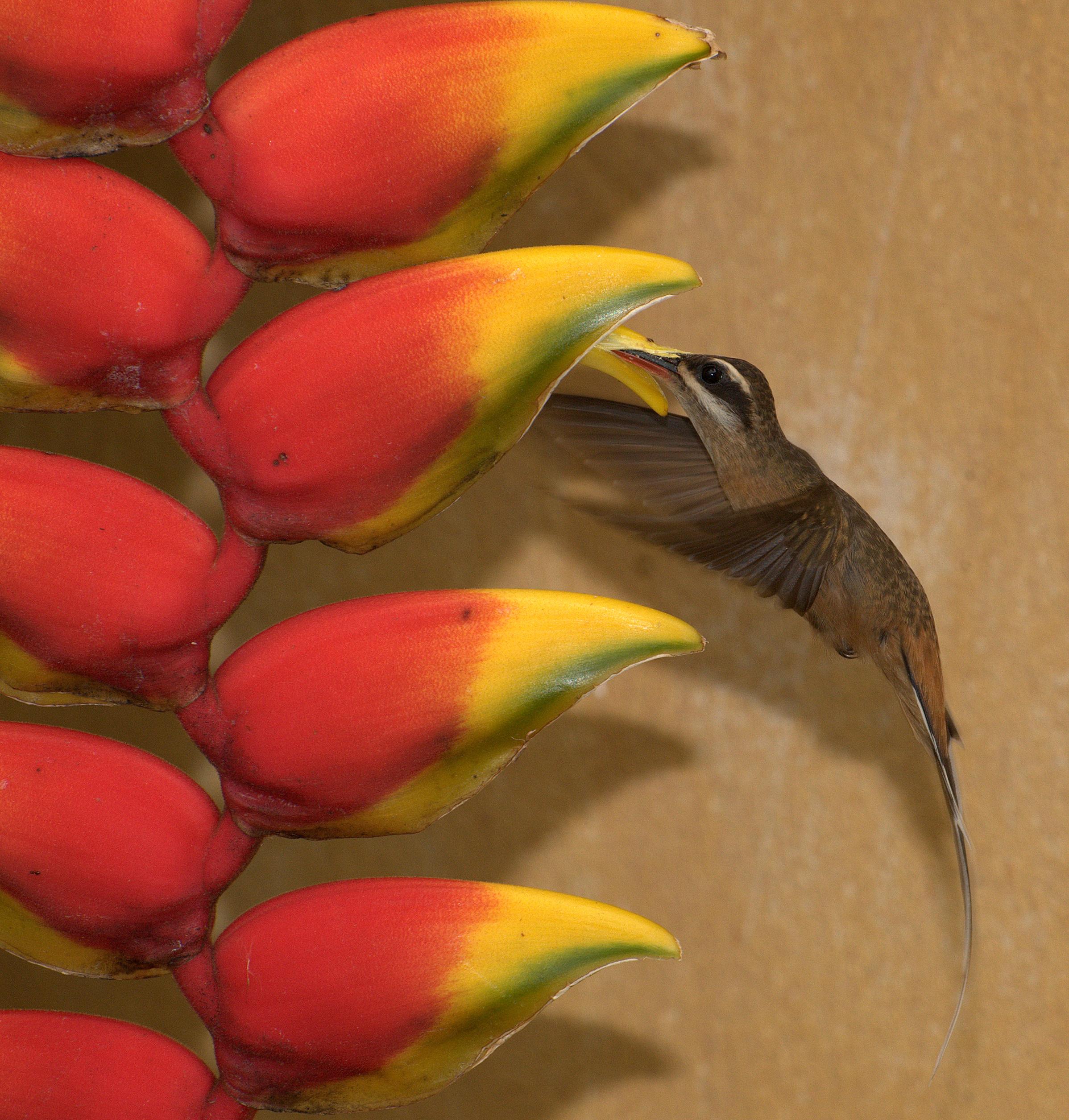 Солнечный колибри Претра фото