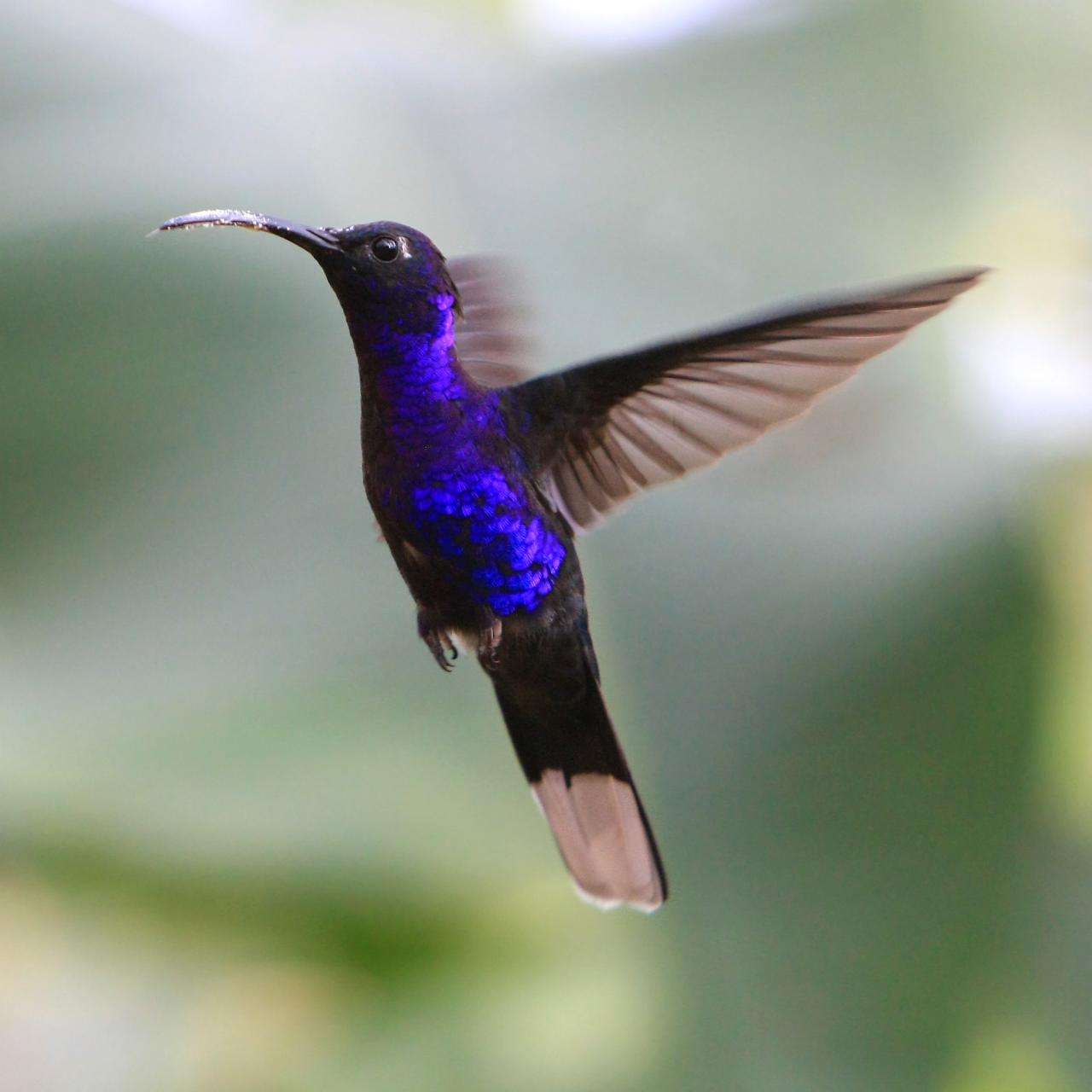 Пурпурный саблекрыл фото