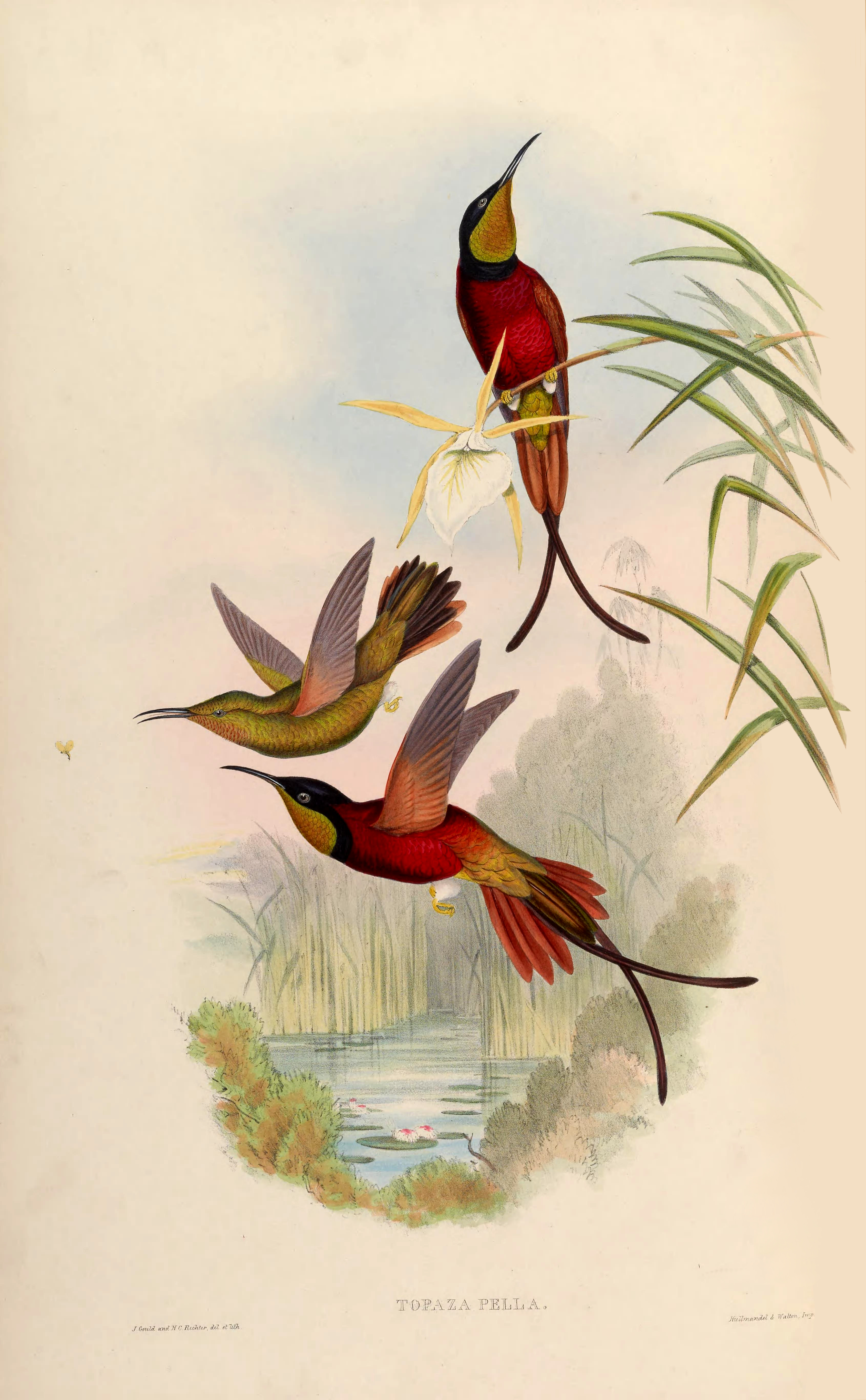 Топазовый колибри фото