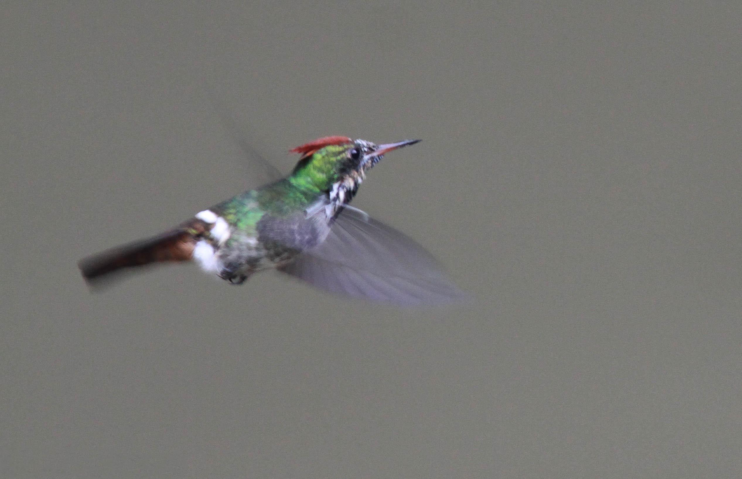 Чудесный колибри-кокетка фото