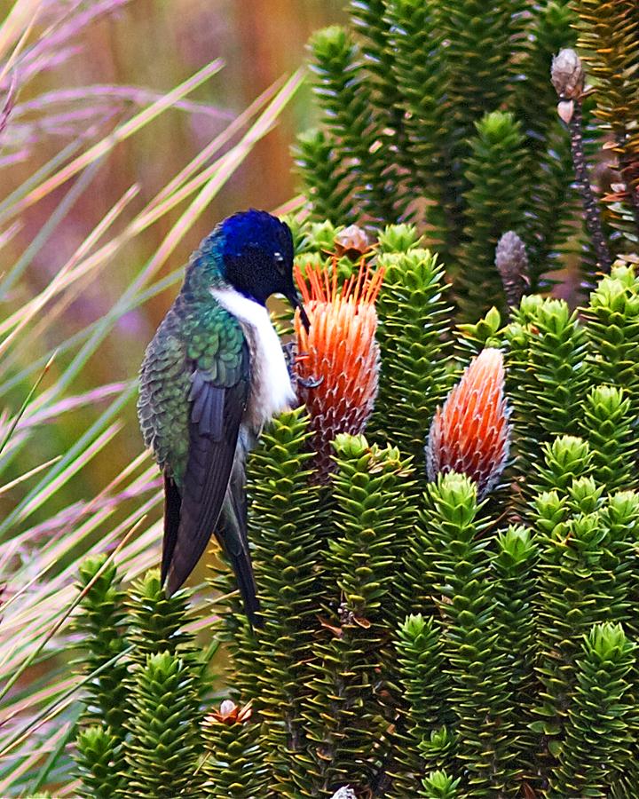 Чимборасовый колибри фото