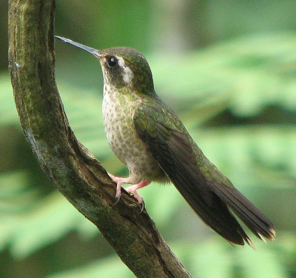 Пестрый колибри фото