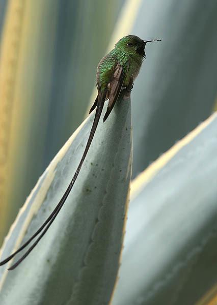 Чернохвостая лесбия фото