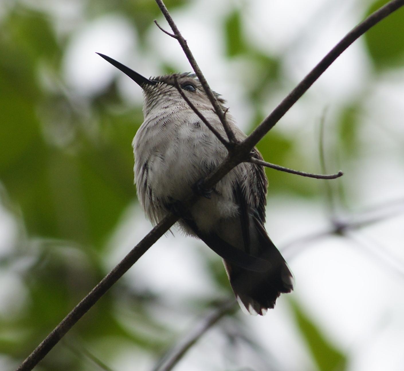 Колибри-пчёлка фото