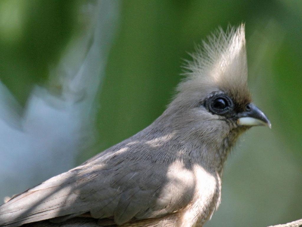 Бурокрылая птица-мышь фото