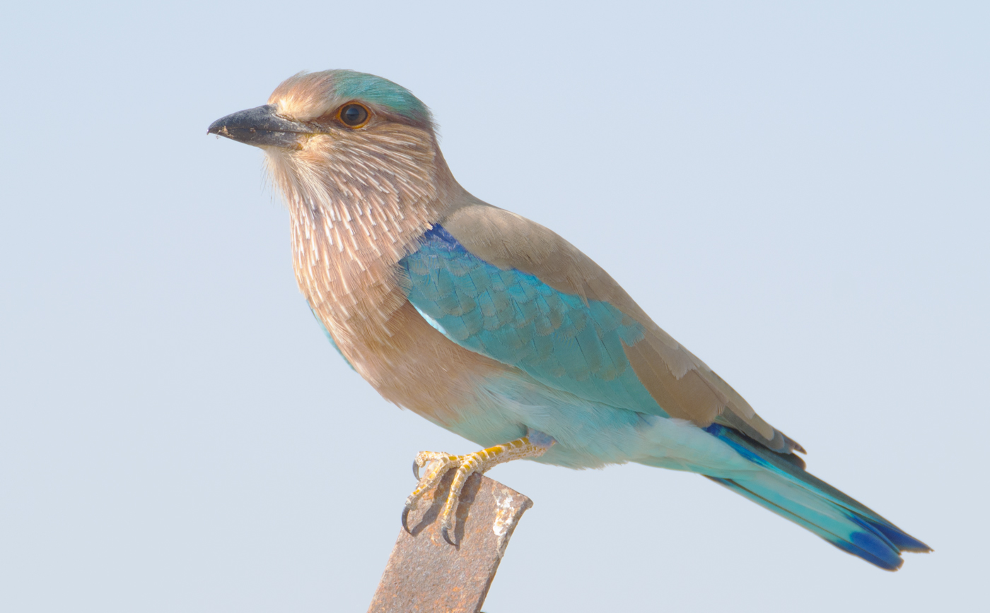 Бенгальская сизоворонка фото