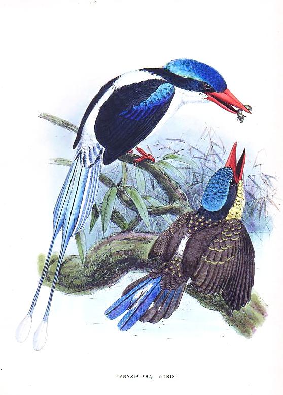 Райский зимородок (галатея) фото