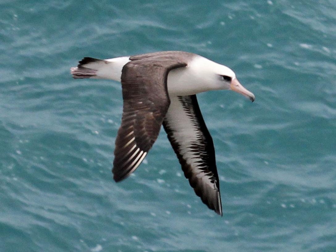 Темноспинный альбатрос фото