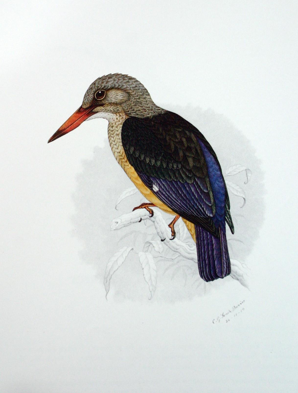 Сероголовая альциона фото