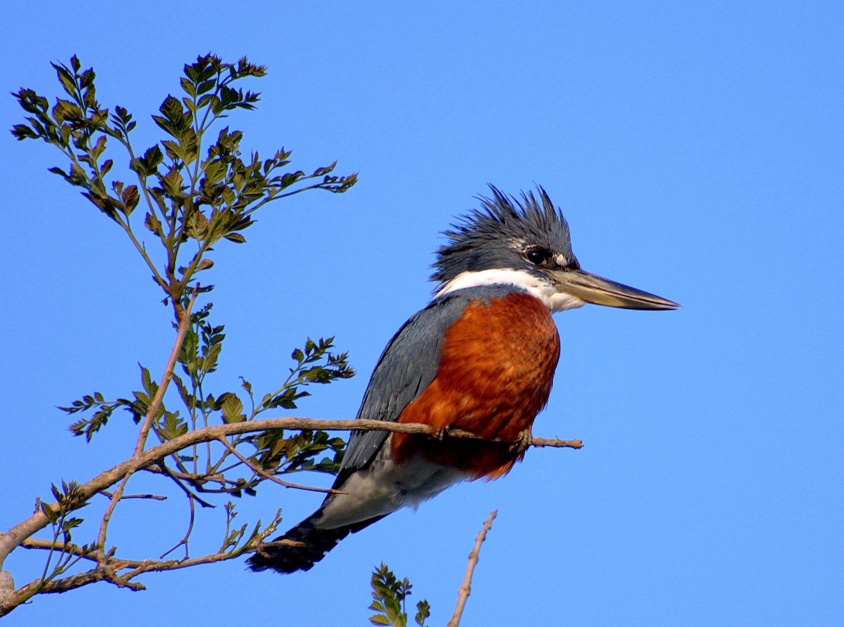 Красногрудый пегий зимородок фото