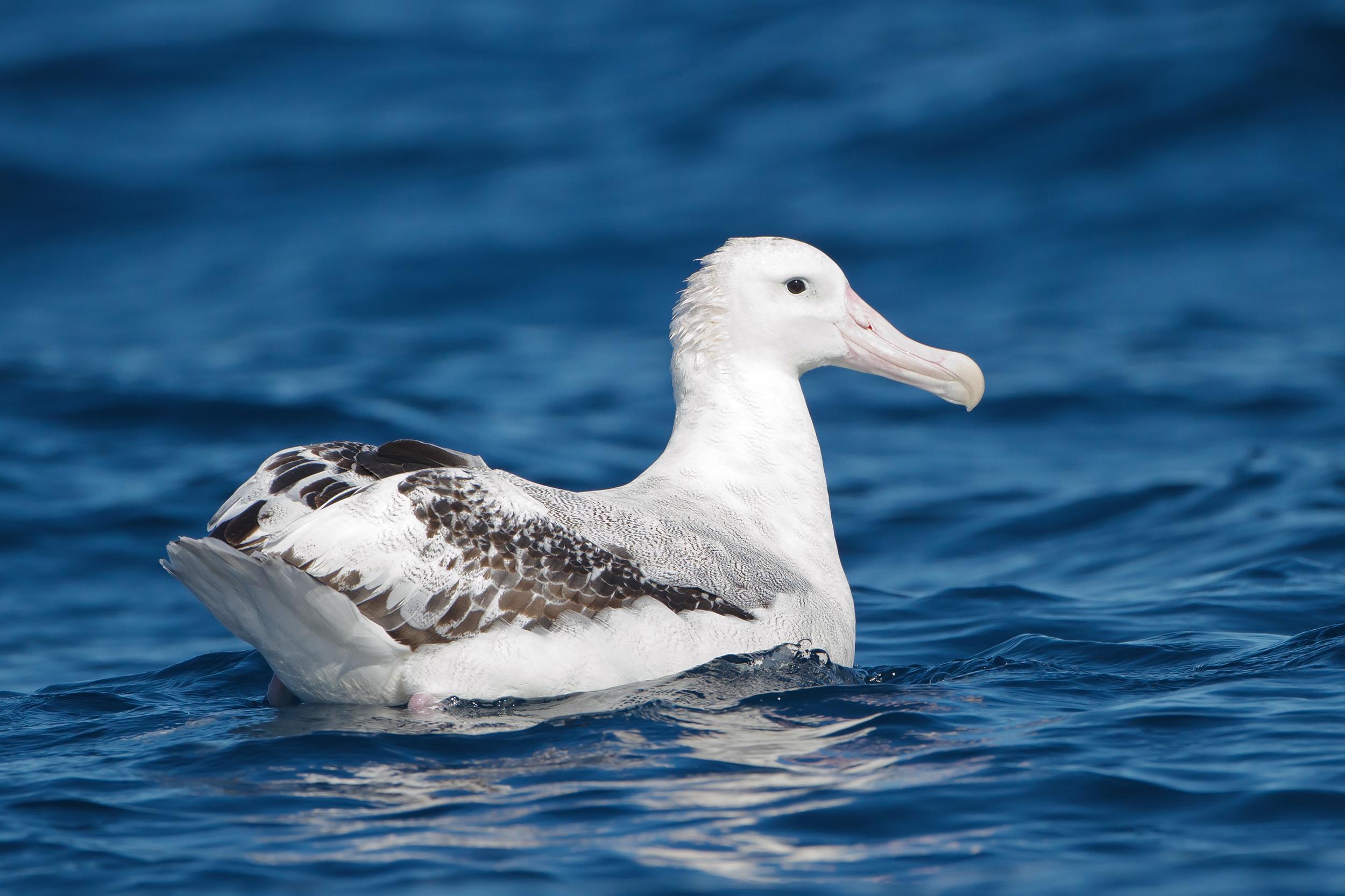 Странствующий альбатрос фото