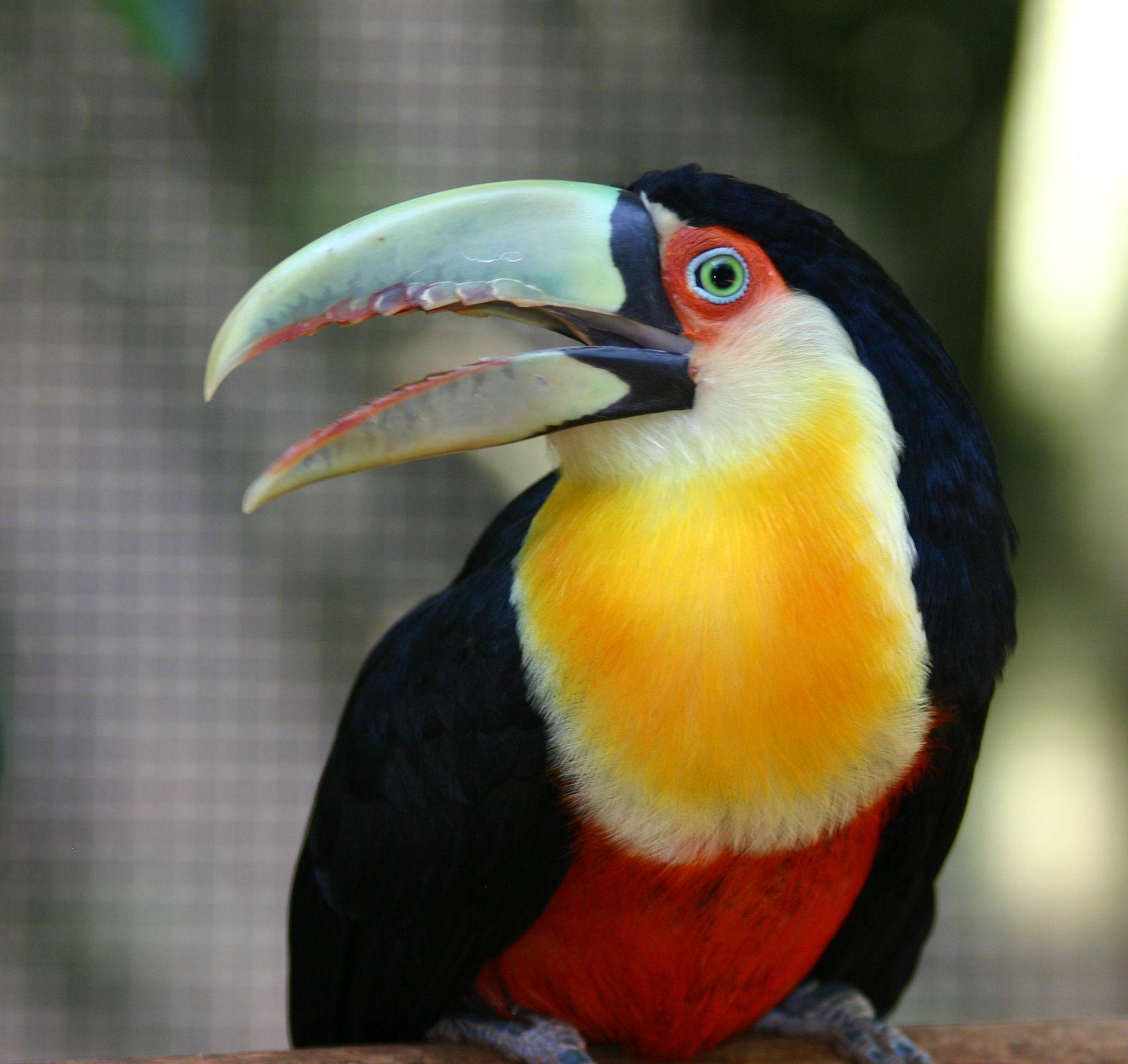 Красногрудый тукан фото