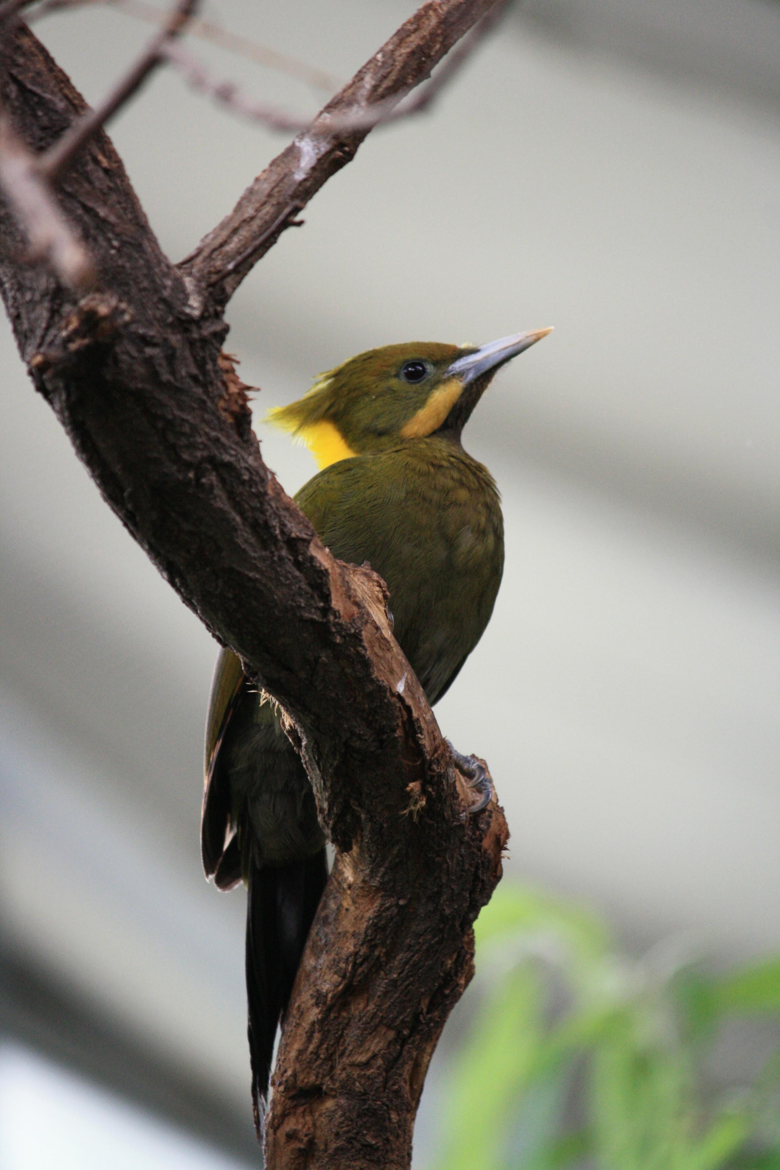 Желтошейный зелёный дятел фото