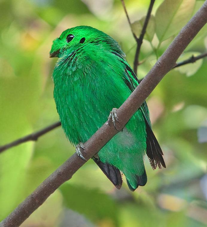 Малый зелёный рогоклюв фото