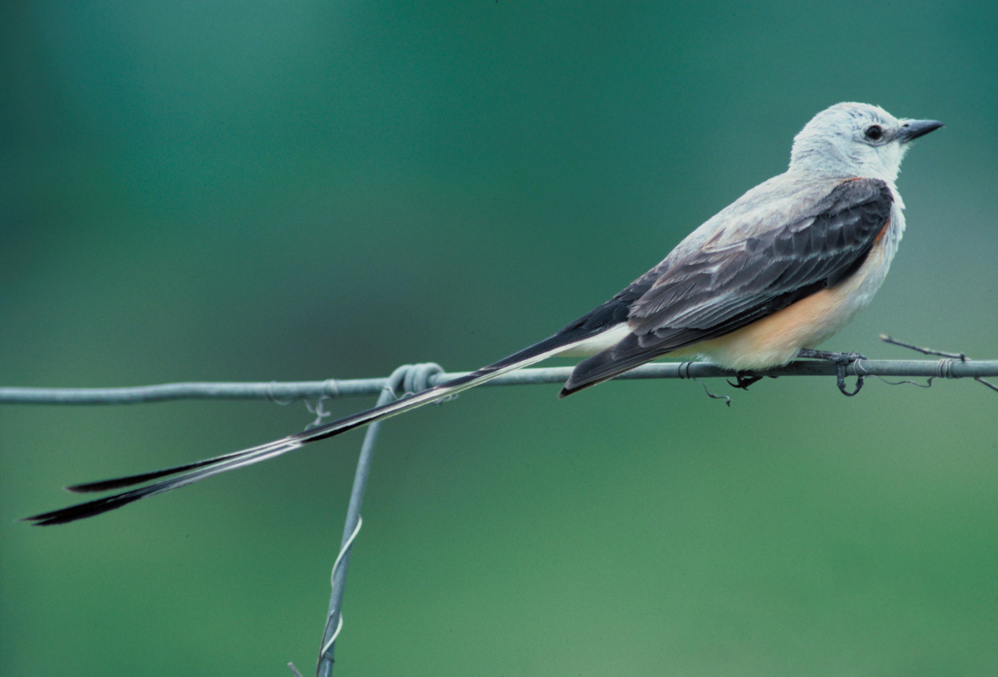 Длинноклювая ложнонектарница фото
