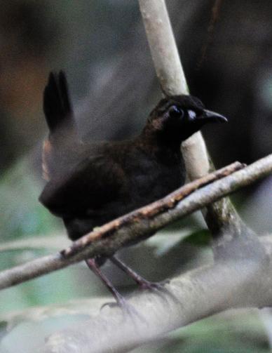 Чернолицая питтоподобная муравьеловка фото