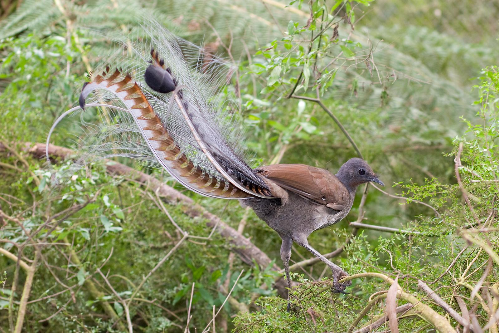 Большая птица-лира фото