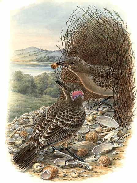 Большая беседковая птица фото