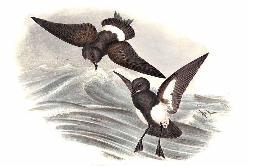 Чернобрюхая качурка фото