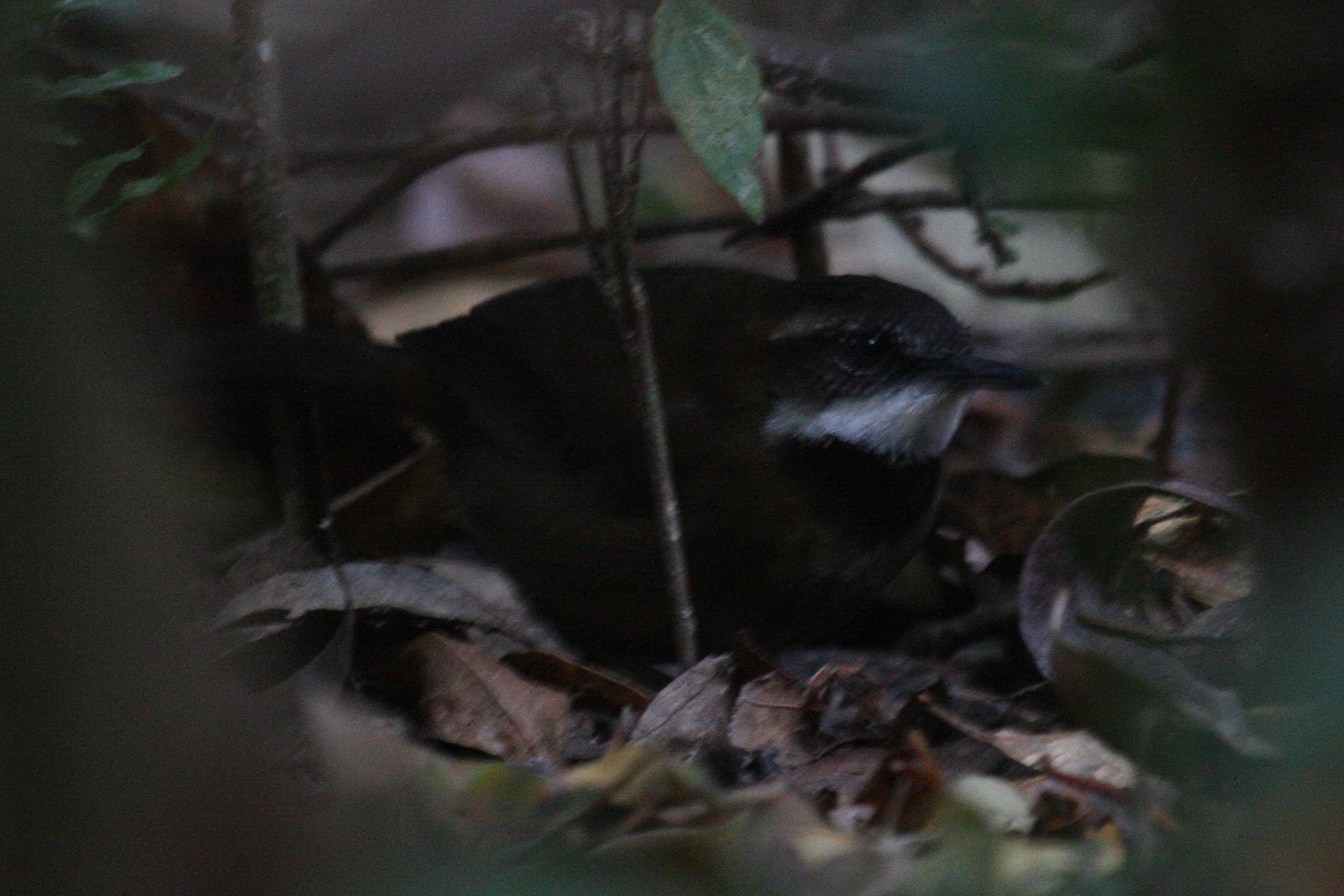 Птица-могильщик фото