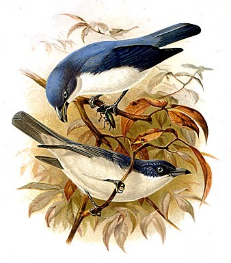 Голубая ванга фото
