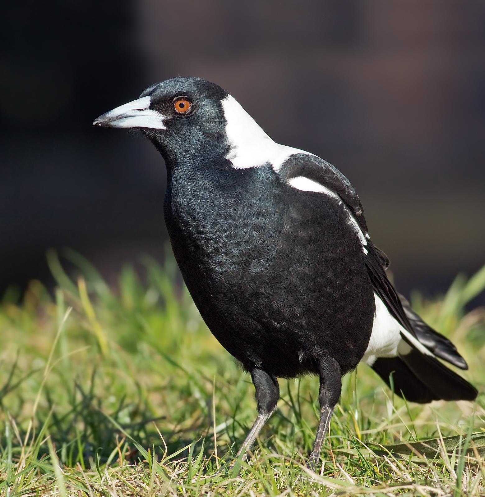 Ворона-свистун (Черноспинная певчая ворона) фото