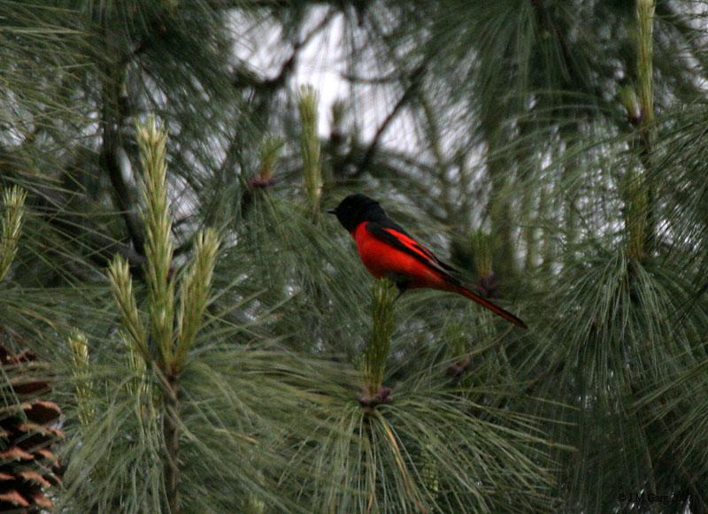Черно-красный длиннохвостый личинкоед фото