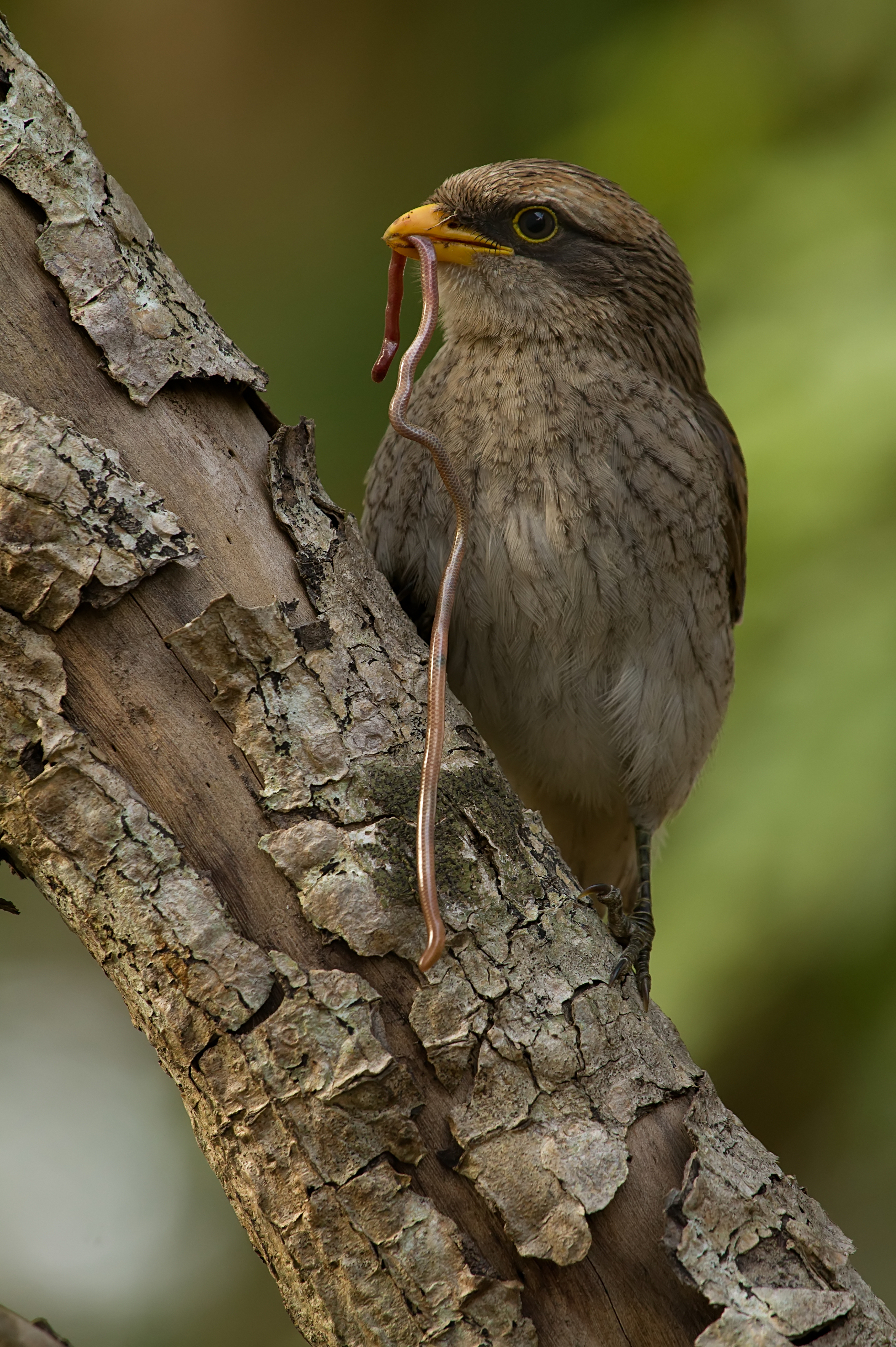Желтоклювый сорокопут фото