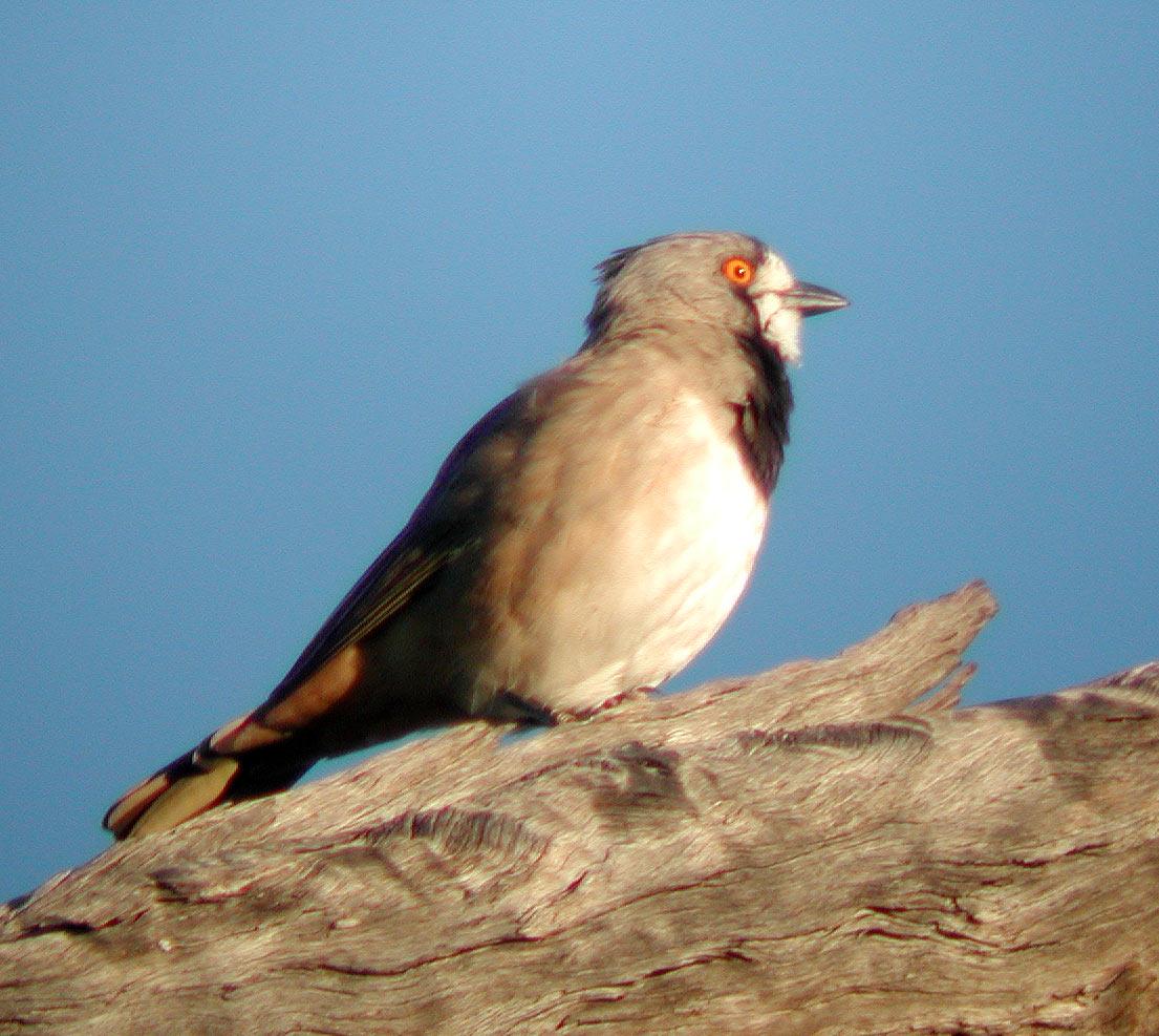 Австралийская птица-колокольчик фото
