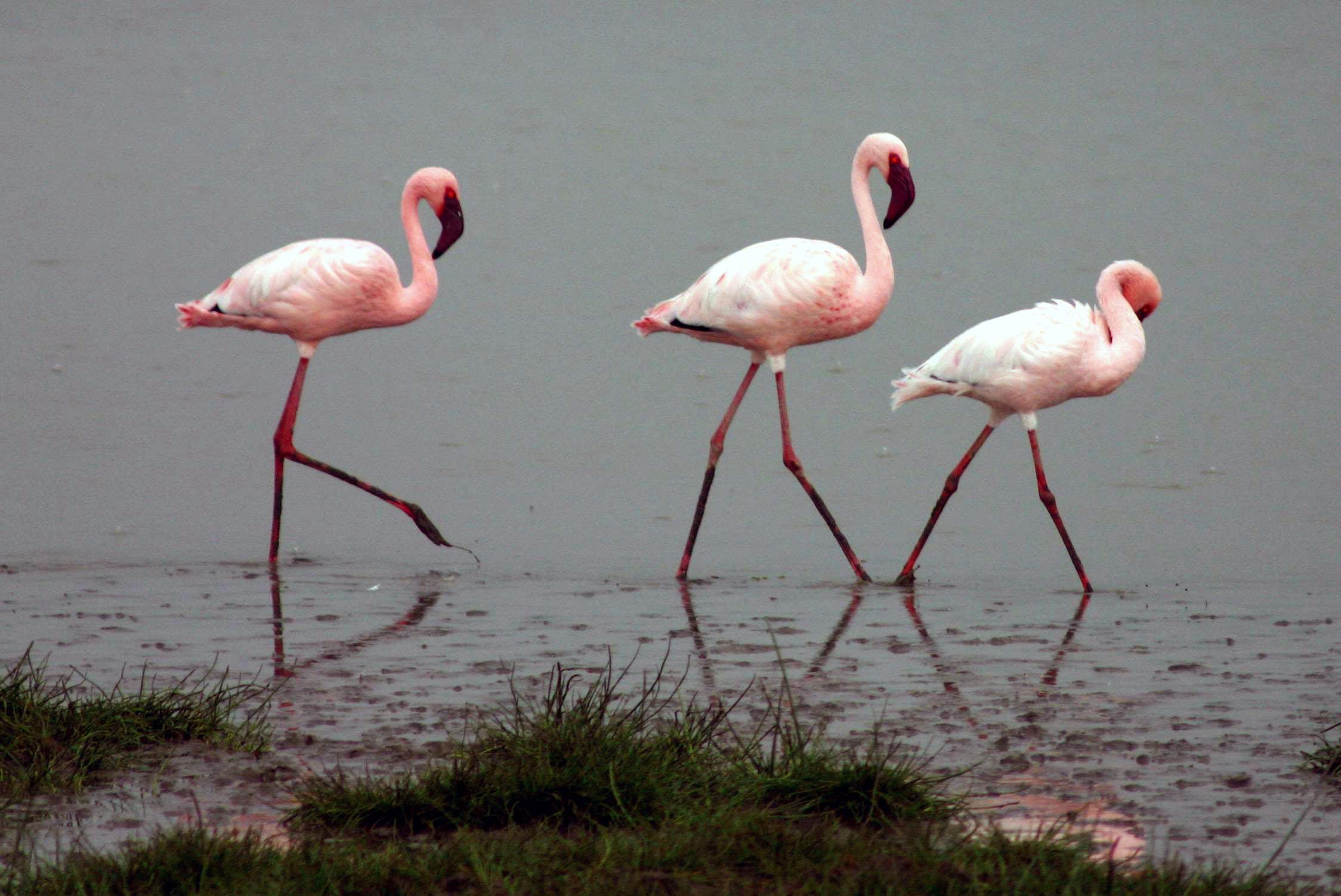 Малый фламинго фото