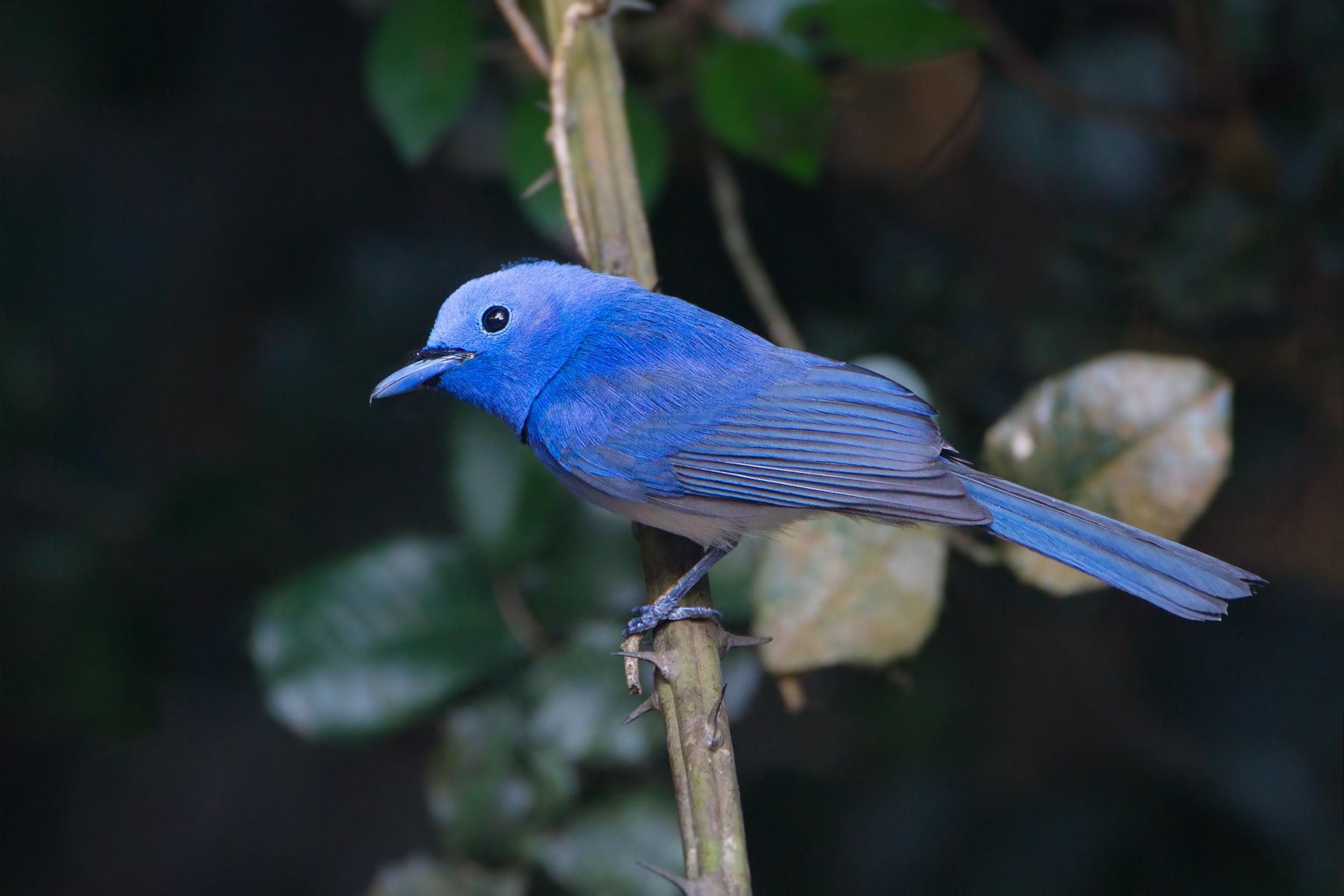 Синий монарх фото