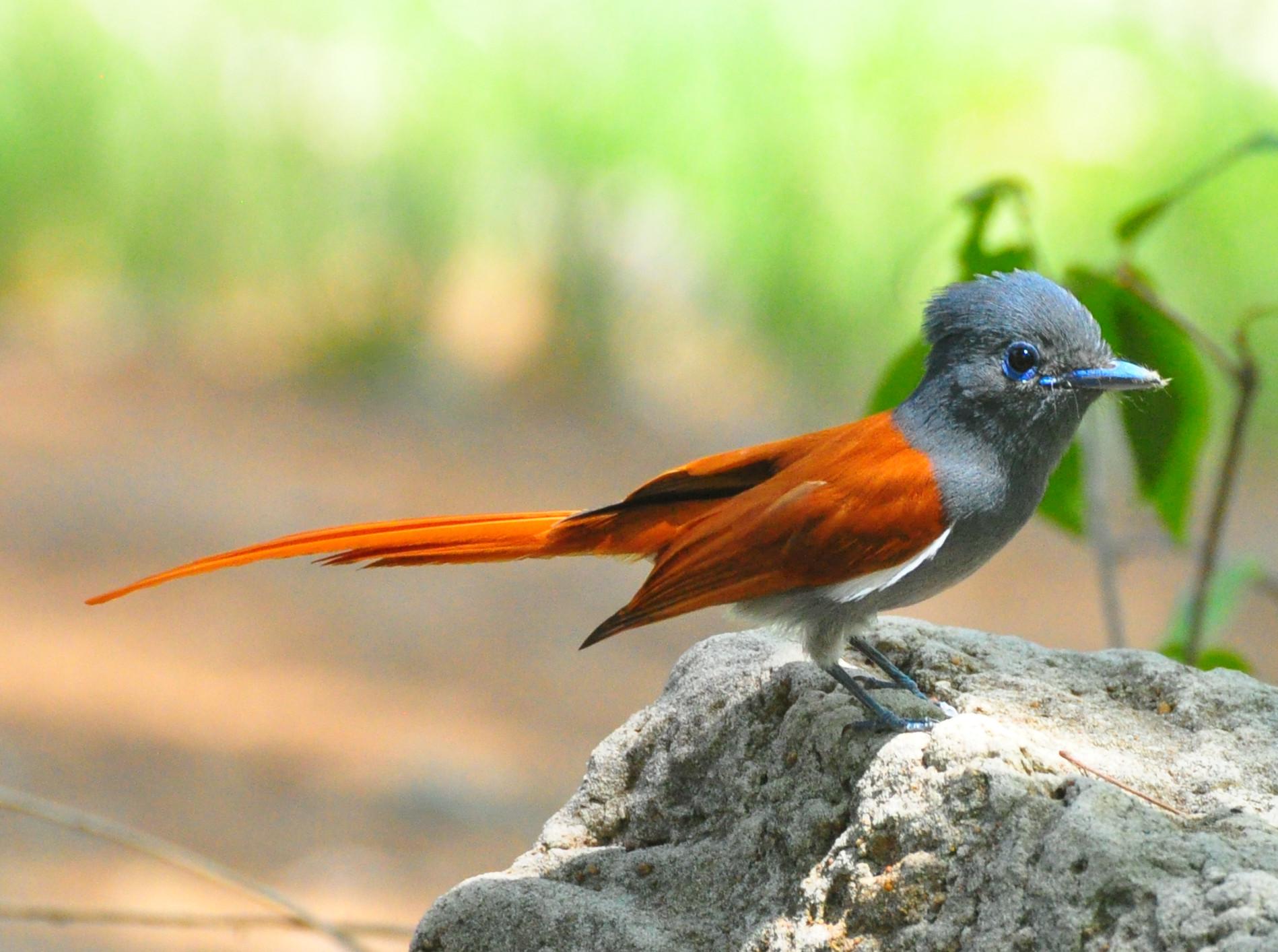 Африканская райская мухоловка фото