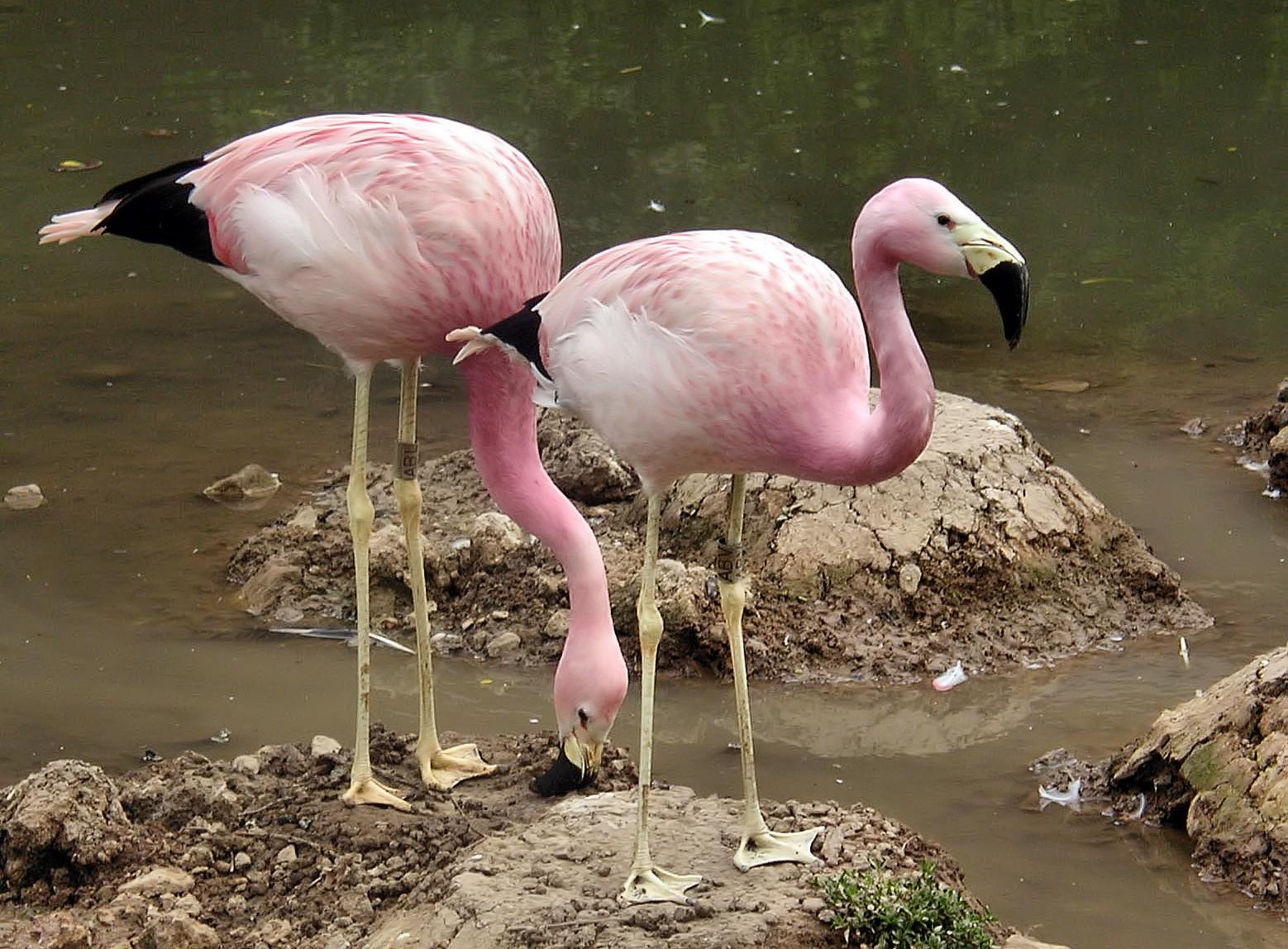 Андский фламинго фото