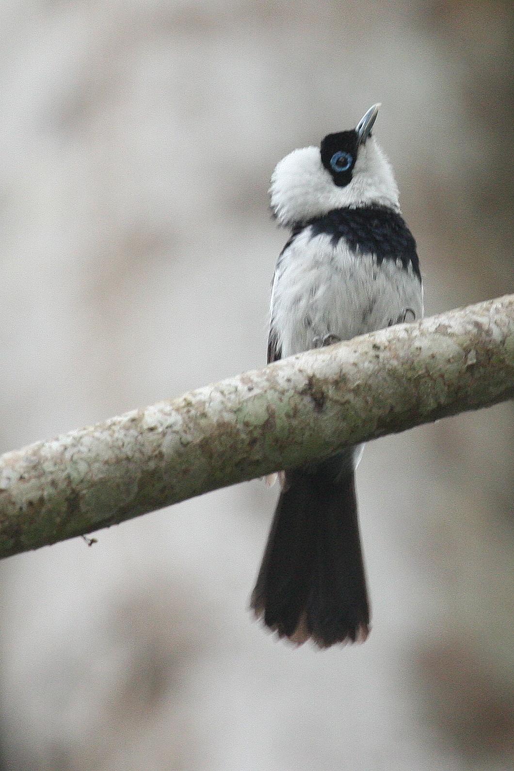 Ошейниковая воротничковая мухоловка фото