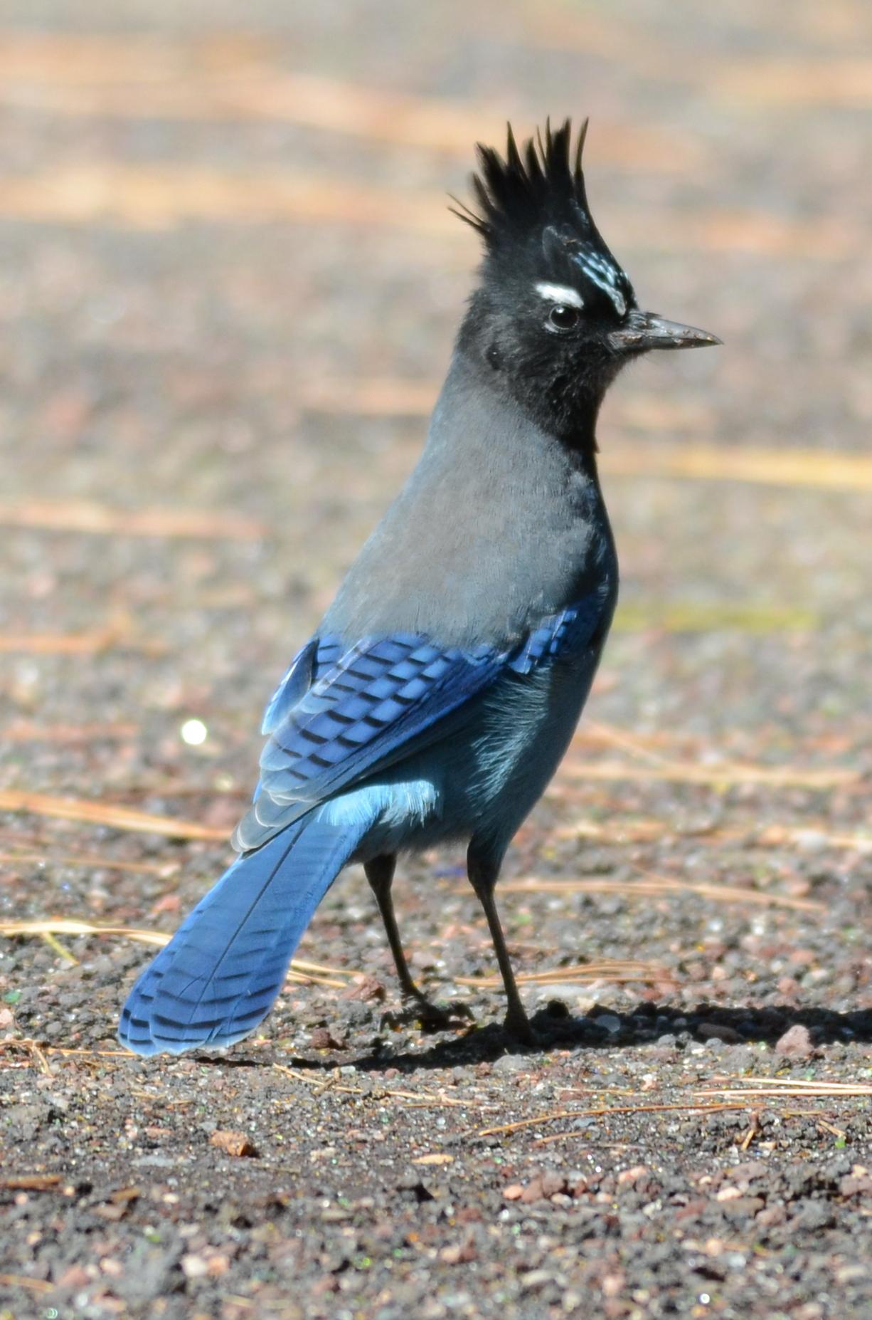 Стеллерова черноголовая голубая сойка фото