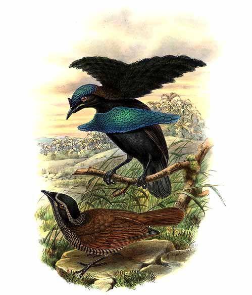 Чудная райская птица фото