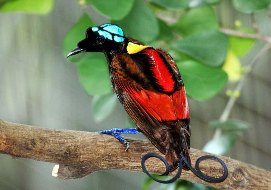 Синеголовая великолепная райская птица фото
