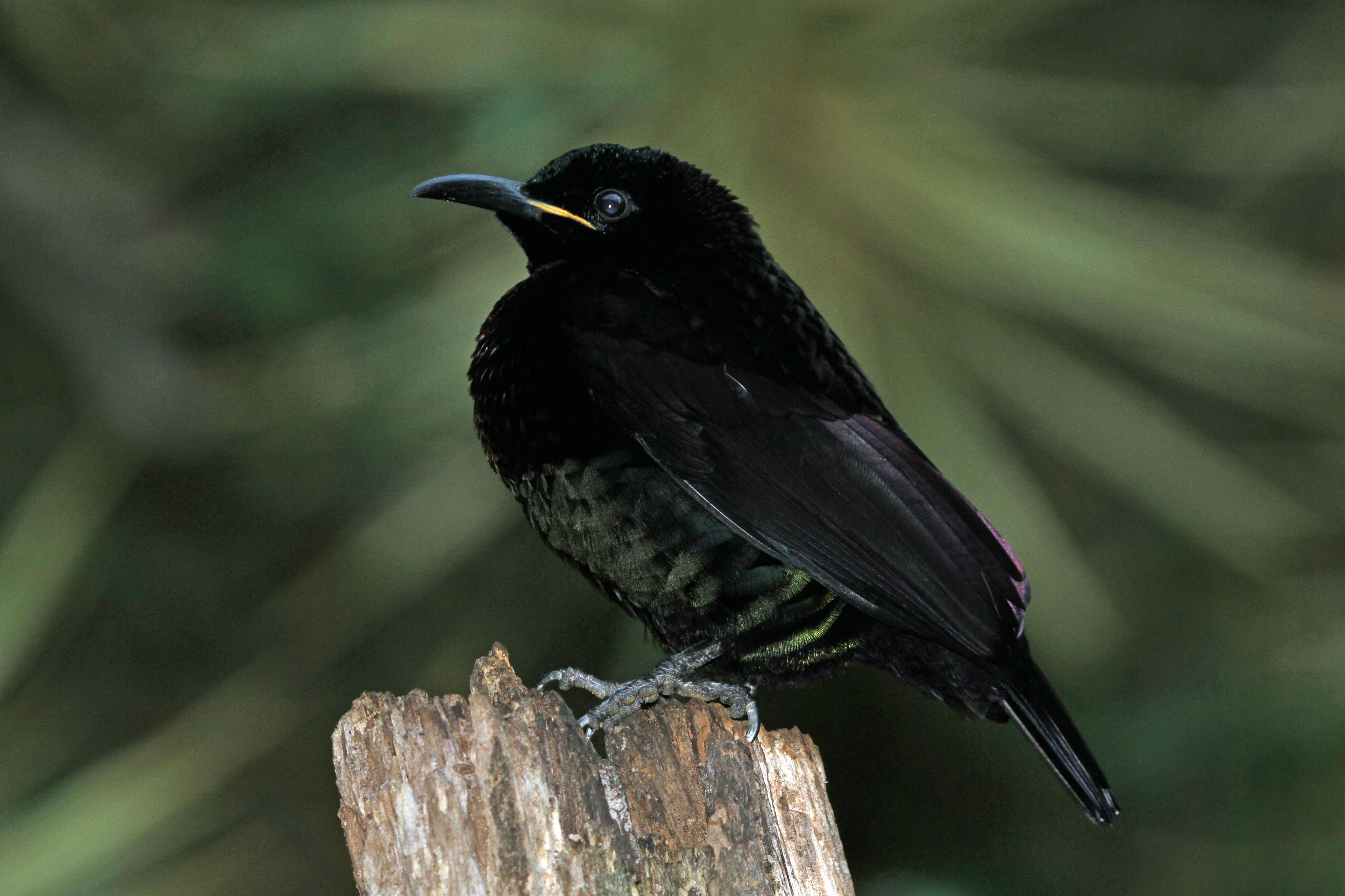 Щитоносная райская птица Виктории фото
