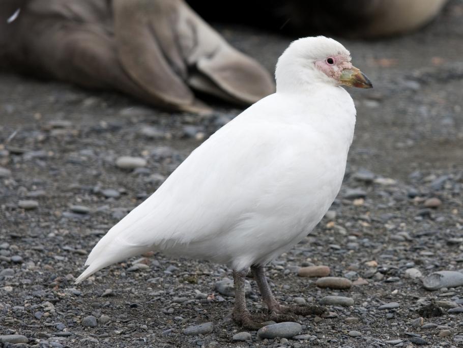 Белая ржанка фото